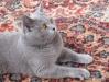 британская кошка5