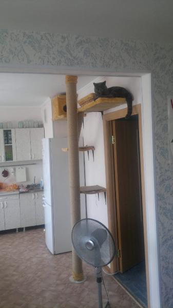 британский котик Набукко наверху