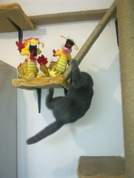 британский котик Набукко трюк