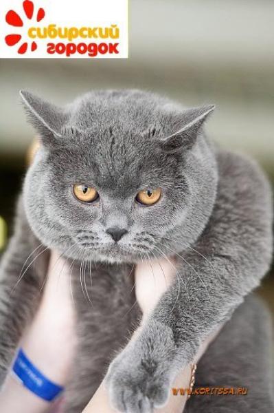 британский котик Набукко на руках