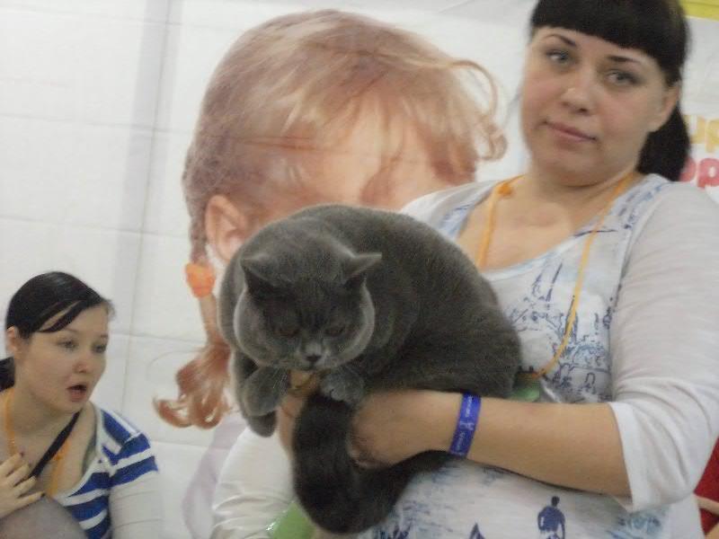 британский котик Набукко хозяйка