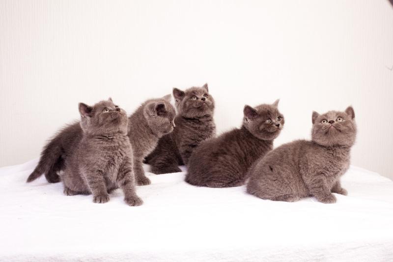 британские котята все
