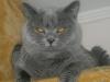 британский котик Набукко глаза