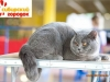 британский котик Набукко стол