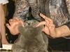 британский котик Набукко Паномарева