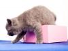 британский котик Набукко убегаю