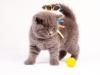 британский котик Нарцисс шарик