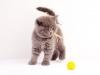 британский котик Нарцисс желтый