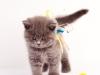 британский котик Нарцисс иду