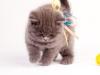 британский котик Нарцисс гляжу