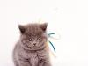 британский котик Нарцисс пристально