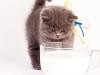 британский котик Нарцисс молочко