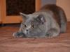 британский котик Нарцисс ковер
