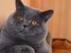британский котик Нарцисс крем