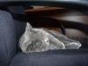 британский котик Нарцисс синева