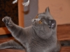 британский котик Нарцисс кисточка