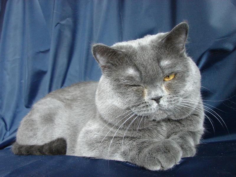 британский кот Найсон лукавый