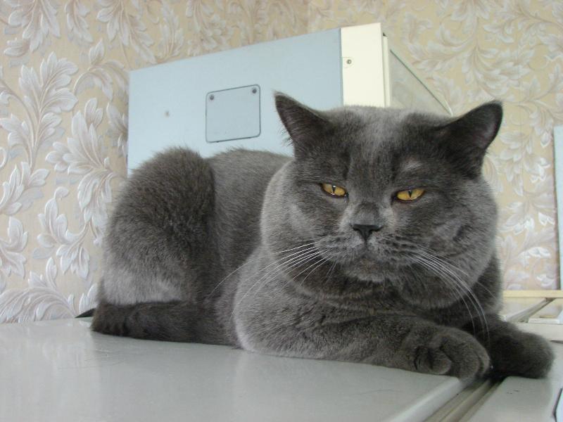 британский кот Найсон на холодильнике