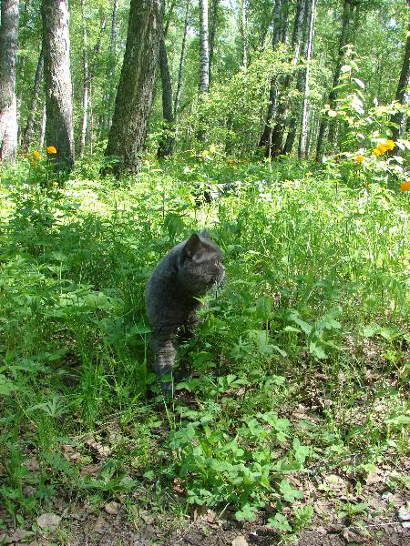 британский кот Найсон в лесу