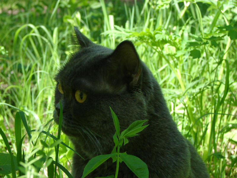 британский кот Найсон2