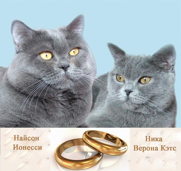британский кот Найсон Ника