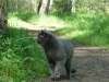 британский кот Найсон1
