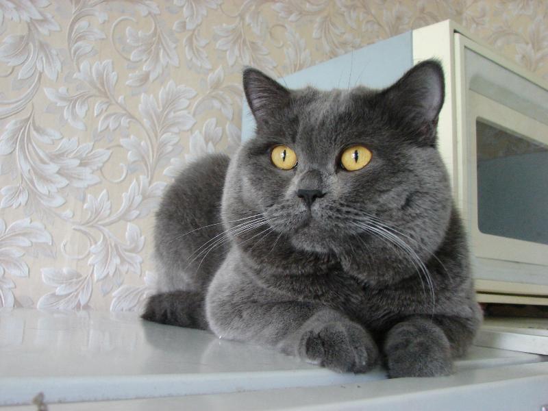 британский кот Найсон4