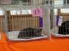 британская кошка на выставке