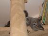 британская кошка на дереве