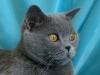 британская кошка профиль