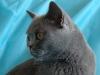 британская кошка профиль2