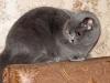британская кошка дома