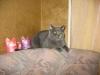британский кот Нил6