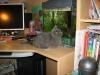 британский кот Нил7