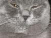 британский кот Нил8