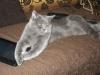 британский кот Нил9