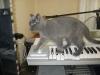 британский кот Нил10