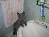 британский котик Нил