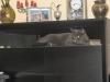 британский кот Нил12