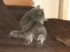 британский кот Нил13