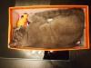 британский кот Нил коробка