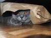 британский кот Нил14