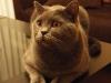 британский кот Нил15