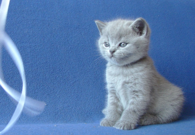 британский котенок2
