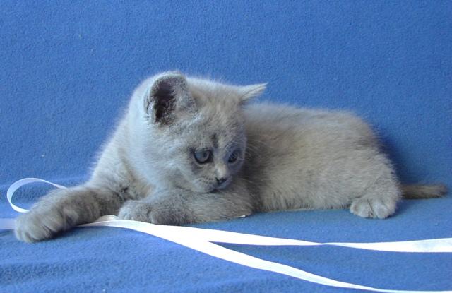 британский котенок5