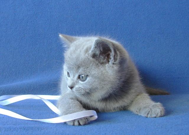 британский котенок6