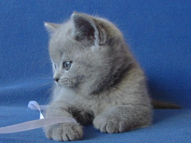 британский котенок7