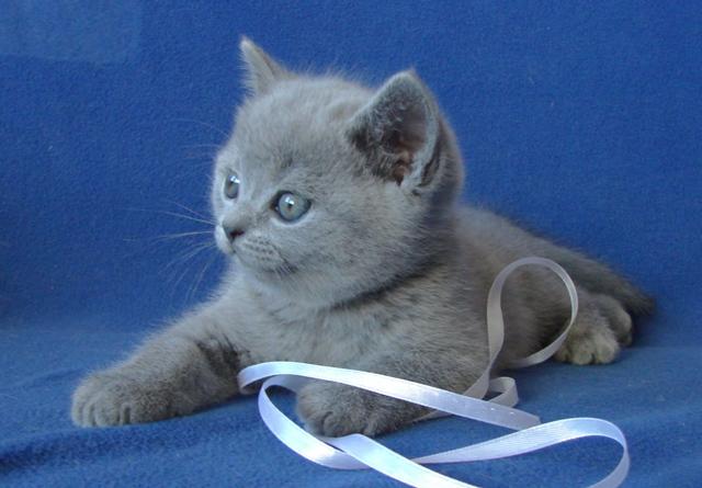 британский котенок8