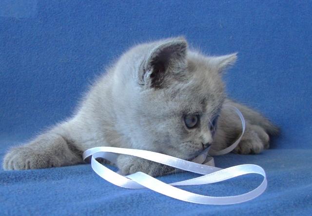 британский котенок9