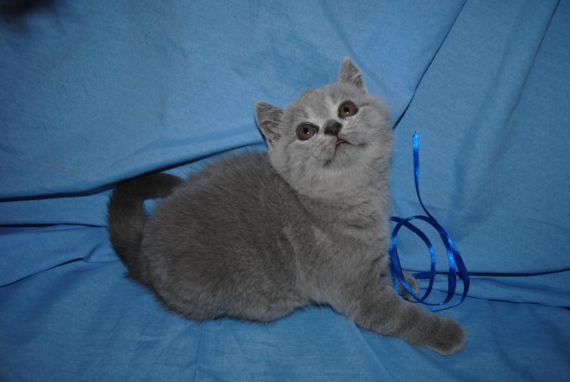 DSC_0447 Британский котик 1мес 3 нед
